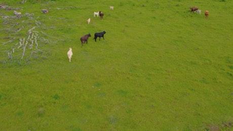 Calves feeding in a meadow with grass