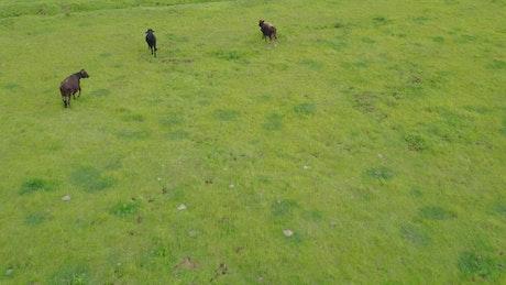 Calves in a meadow in an aerial shot