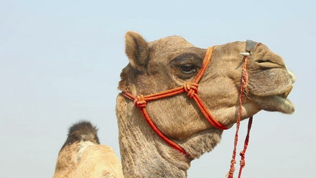 Camel chewing his food