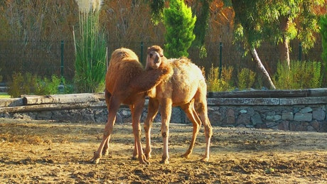 Camel couple in Arab zoo
