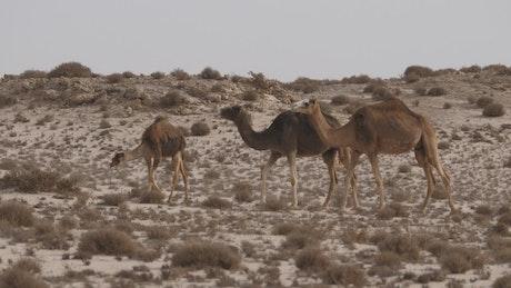 Camel herd walking on a desert