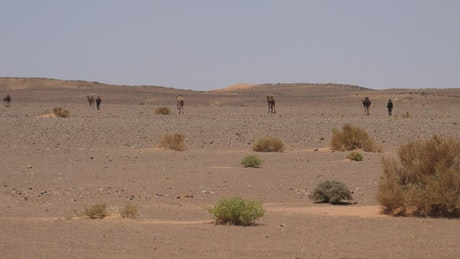 Camel shepherd and his camels in the desert