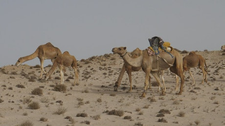 Camels grazing in the desert