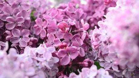 Camera close to a Lilac plant