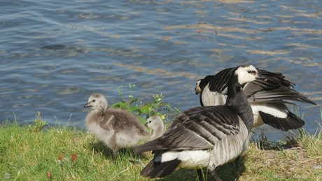 Canada geese family by the pond