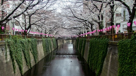 Canal in the city surrounded by white cherry trees