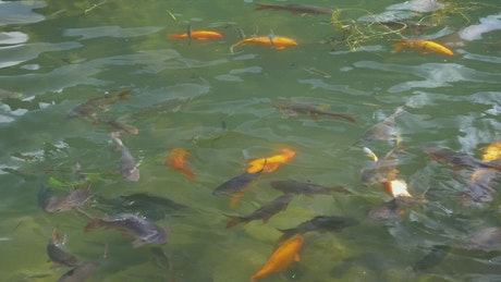 Carp in a large pond