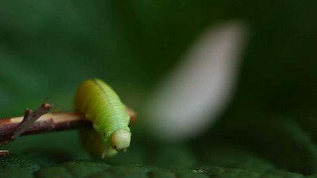 Caterpillar walking on a branch
