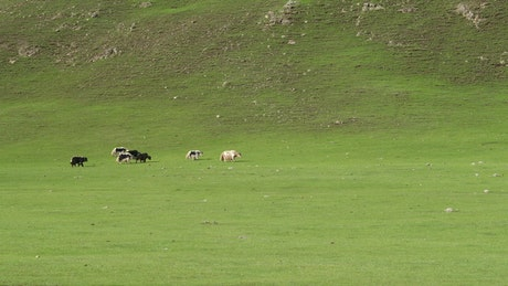 Cattle crossing a green valley