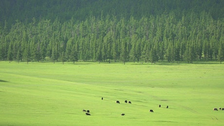 Cattle in a large green valley
