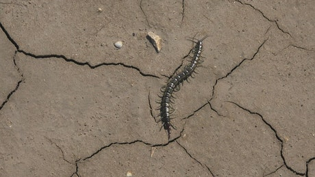 Centipede walking in a cracked soil