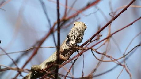 Chameleon in the wild