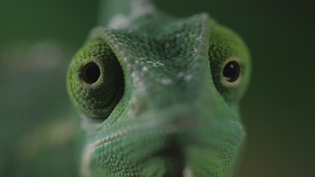 Chameleon moving its eyes one per time, closeup