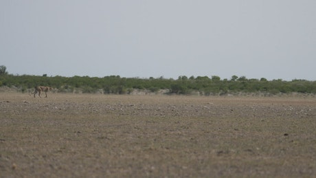Cheetah hunting on a herd of wildebeest