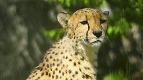 Cheetah in the wild, portrait