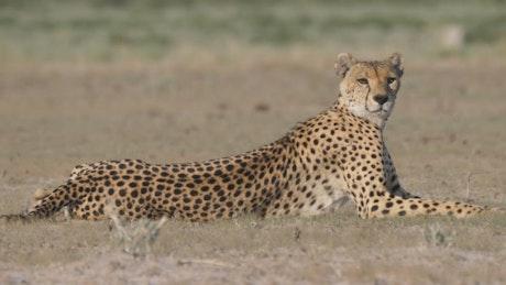 Cheetah looking around in the savanna