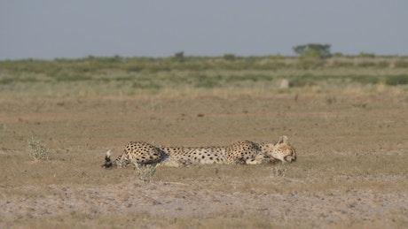 Cheetah resting in the savanna