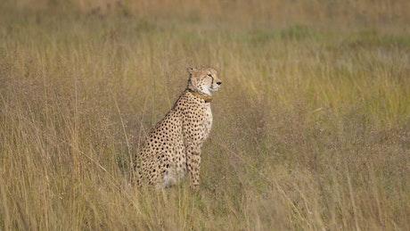 Cheetah walks to another cheetah in the savanna
