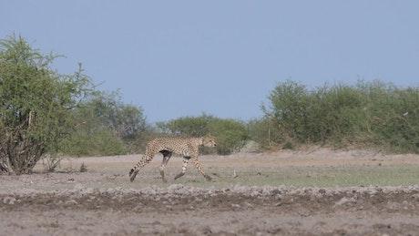 Cheetahs hunting in the savanna