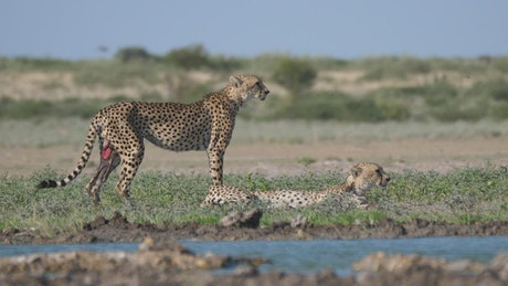 Cheetahs near a water hole