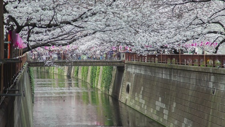 Cherry trees blooming by the river in Tokyo