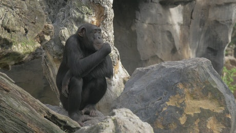 Chimp sitting on a stock