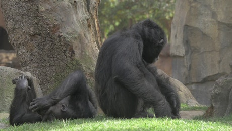Chimps resting in the shade