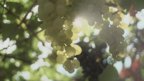 Choosing grapes in a vineyard