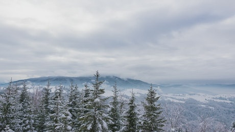 Christmas trees in a winter landscape