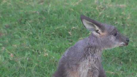 Close up of a baby kangaroo cleaning his head