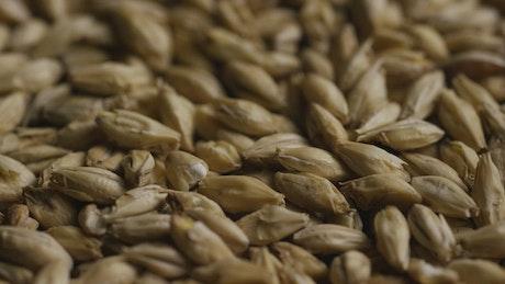 Close up of barley rotating