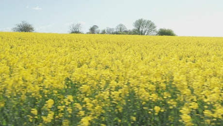 Close up shot of Canola crops