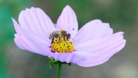 Closeup of a bee on a purple flower
