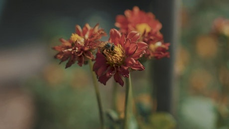 Closeup of a bee on a red flower