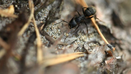 Closeup of a black ant