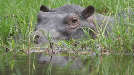 Closeup of a hippo sleeping in a swamp