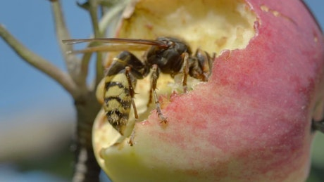 Closeup of a hornet eating a red apple
