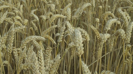 Closeup of a wheat field