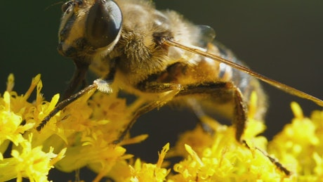 Closeup of bee pollinating yellow flower
