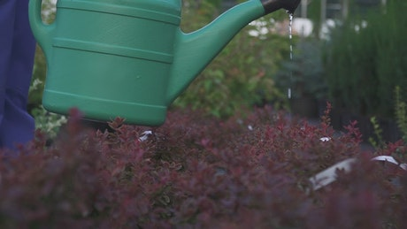 Closeup of watering can pouring on garden bushes
