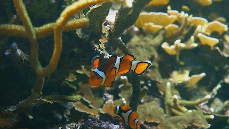Clown fish at a coral