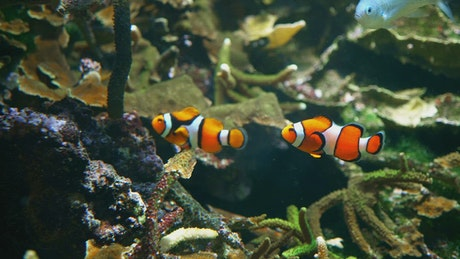 Clown fish swim among corals and seaweed