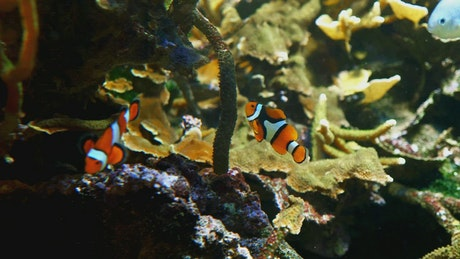 Clown fish swimming near more fish