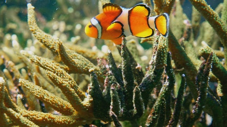 Clown fish swimming through coral reef