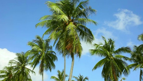 Coconut palms moving with the wind