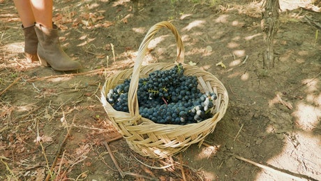 Collecting grapes for making wine