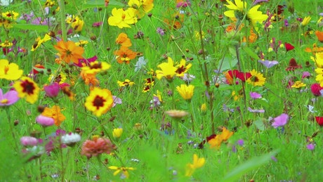 Colorful flower field, static shot