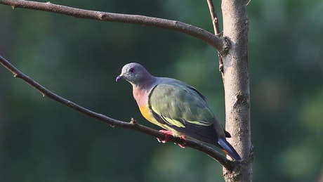 Colorful Pigeon in a tree