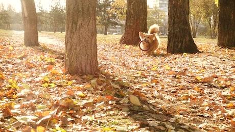 Corgi dog running in an autum forest
