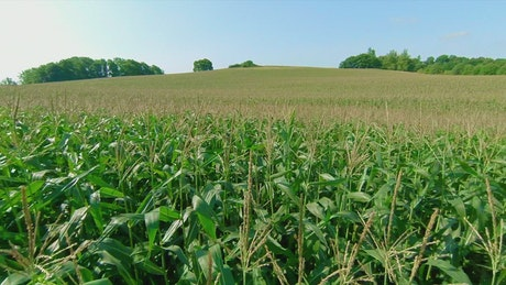 Corn field before harvest